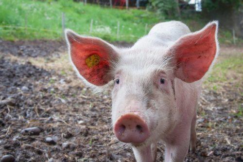 O Afrykańskim pomorze świń w Nakle. Szkolenie dla hodowców 3 lipca